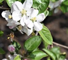 A honey bee collecting pollen from an apple tree in Framingham, photographed by George Marold.
