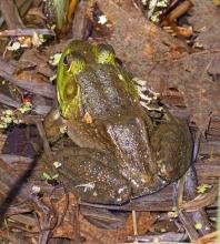 An American bullfrog at Garden in the Woods in Framingham, photographed by Joan Chasan.