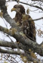 A bald eagle at Great Meadows National Wildlife Refuge in Concord, photographed by Steve Forman.
