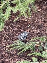 A black-and-white warbler in Westborough, photographed by Tristan Magnay.