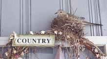 A mourning dove on a nest in Northborough, photographed by Sandy Howard.