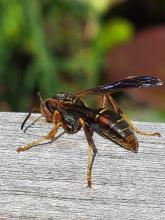 A northern paper wasp at Tower Hill Botanic Garden in Boylston, photographed by Marnie Frankian.