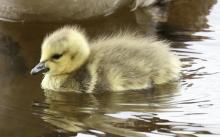 A Canada goose gosling at the Sudbury Reservoir in Southborough, photographed by Steve Forman.