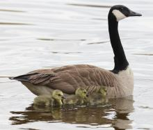 A family of Canada geese at the Sudbury Reservoir in Southborough, photographed by Steve Forman.