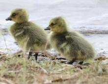 Canada geese goslings at the Sudbury Reservoir in Southborough, photographed by Steve Forman.