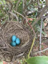 American robin eggs in a nest in Marlborough, photographed May 9th, 2021 by Karin Paquin.