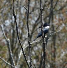 A belted kingfisher at SVT's Cedar Hill Reservation in Northborough, photographed by Victoria Holland.