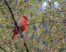 A northern cardinal in Westborough, photographed by Nancy Wright.