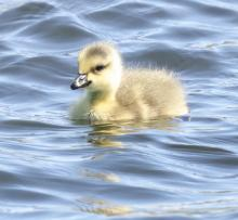 A Canada goose gosling at Farm Pond in Framingham, photographed by Steve Forman.