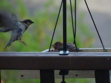 A house sparrow (left) and a house finch in Ashland, photographed by Cindy Winer.