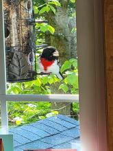 A rose-breasted grosbeak in Northborough, photographed by Marnie Frankian.