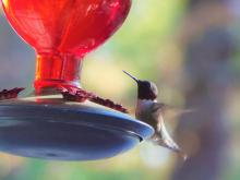 A ruby-throated hummingbird in Harvard, photographed by Robin Right.