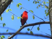 A scarlet tanager in Concord, photographed by Rachel Stein.
