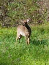 A white-tailed deer at SVT's Smith Conservation Land in Littleton, photographed by Michele Girard.