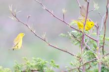 Yellow warblers at Breakneck Hill Conservation Land in Southborough, photographed by Steve Forman.