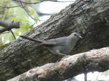 A gray catbird in Wayland, photographed by Shelley Trucksis.