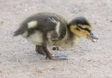 A mallard duckling at Breakneck Hill Conservation Land in Southborough, photographed by Steve Forman.