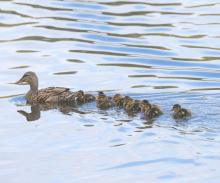 A family of mallards at Breakneck Hill Conservation Land in Southborough, photographed by Steve Forman.