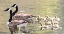 A family of Canada geese at Grist Mill Pond in Sudbury, photographed by Steve Forman.
