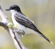 An eastern kingbird at Breakneck Hill Conservation Land in Southborough, photographed by Steve Forman.