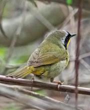 A common yellowthroat at Great Meadows National Wildlife Refuge in Concord, photographed by Joan Chasan.