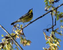 A magnolia warbler in Concord, photographed by David Seibel.