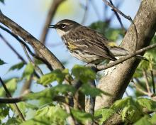 A yellow-rumped warbler in Concord, photographed by David Seibel.