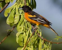 A Baltimore oriole in Concord, photographed by David Seibel.