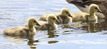Canada geese goslings at Grist Mill Pond in Sudbury, photographed by Steve Forman.