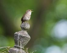 A house wren in Concord, photographed by David Seibel.