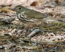 An ovenbird at Punkatasset and Saw Mill Brook in Concord, photographed by David Seibel.