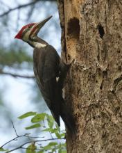 A pileated woodpecker at Punkatasset and Saw Mill Brook in Concord, photographed by David Seibel.