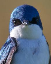 A tree swallow at South Meadow Playground in Concord, photographed by David Seibel.