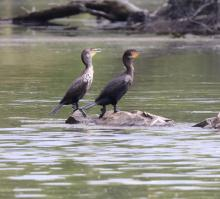 Double-crested cormorants at Hager Pond in Marlborough, photographed by Steve Forman.