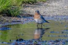 An eastern bluebird at Wayne F. MacCallum Wildlife Management Area in Westborough, photographed by Nancy Wright.