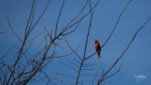 A northern cardinal at Wayne F. MacCallum Wildlife Management Area in Westborough, photographed by Nancy Wright.