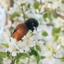 An orchard oriole at Wayne F. MacCallum Wildlife Management Area in Westborough, photographed by Nancy Wright.