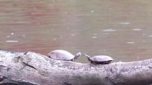 Painted turtles at Hager Pond in Marlborough, photographed by Steve Forman.