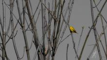 A yellow warbler at Wayne F. MacCallum Wildlife Management Area in Westborough, photographed by Nancy Wright.
