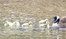 A family of Canada geese at Grist Mill Pond in Marlborough, photographed by Steve Forman.