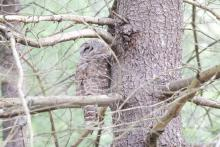 A barred owl at Great Meadows in Sudbury, photographed by Gail Sartori.
