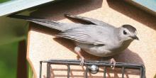 A gray catbird in Framingham, photographed by Steve Forman.