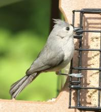 A tufted titmouse in Framingham, photographed by Steve Forman.