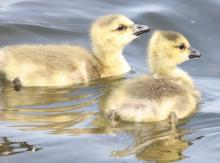 Canada geese goslings at Farm Pond in Framingham, photographed by Steve Forman.