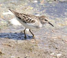 A least sandpiper at Hager Pond in Marlborough, photographed by Steve Forman.