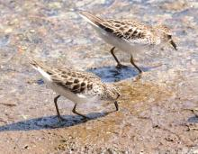 Least sandpipers at Hager Pond in Marlborough, photographed by Steve Forman.