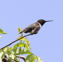 A ruby-throated hummingbird at Breakneck Hill Conservation Land in Southborough, photographed by Steve Forman.