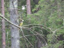 A great crested flycatcher in Concord, photographed by Rachel Stein.