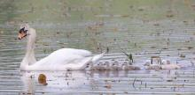 A family of mute swans at Great Meadows National Wildlife Refuge in Concord, photographed by Steve Forman.