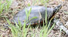 A painted turtle at Great Meadows National Wildlife Refuge in Concord, photographed by Steve Forman.